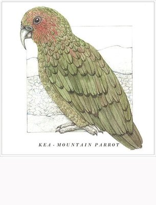 Kea (Mountain Parrot) Card