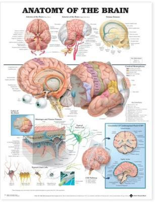 Anatomy of the Brain Anatomcial Chart