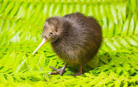 Homepage_ma14_700_700_brown-kiwi-chick