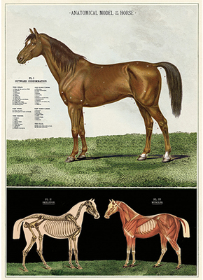 Large_anatomical_model_of_the_horse__00144.1503171031.650.800