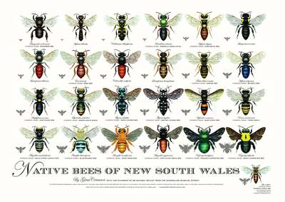 Native Bees of New South Wales Poster