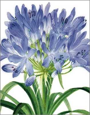 Card - Agapanthus lily M54