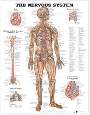 The Nervous System Anatomical Chart - Laminated