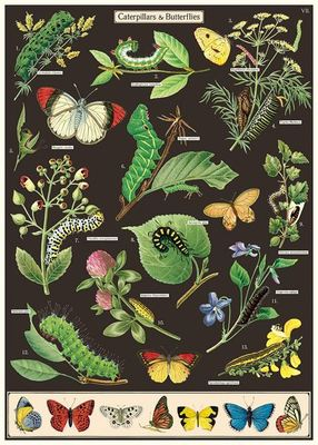 Wrap - Caterpillars & Butterflies