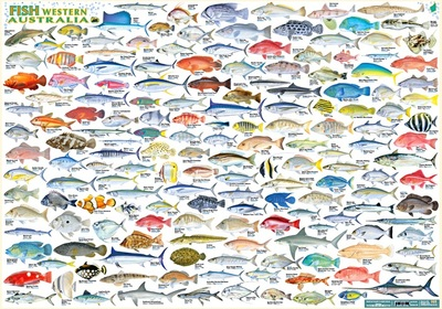 Fish of Western Australia Double Sided B2 Chart Poster Laminated - QPA