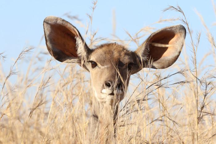 deer with big ears