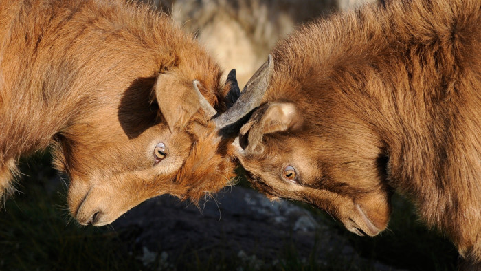 two brown goats head to head