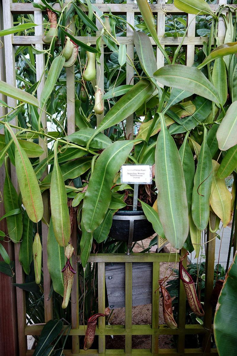 Carnivorous pitcher plant, Nepenthes 'Miranda'