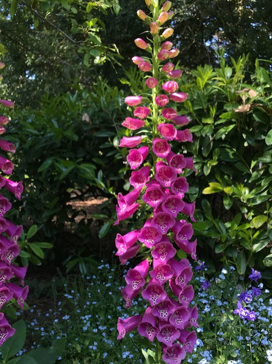 Springtime blooms in the Garden of Shakespeare's Flowers, Golden Gate Park