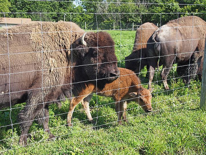 Bison at Big Bone Lick