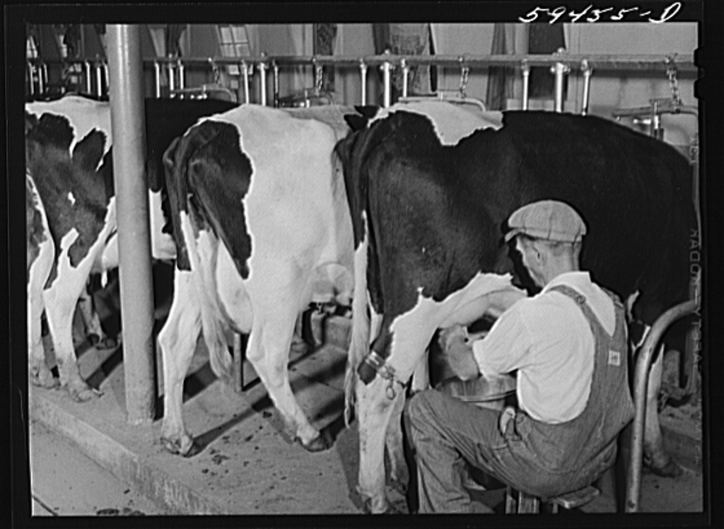 An employee of Two River milking a cow.  The cows used at Two River are also Holstein cattle.