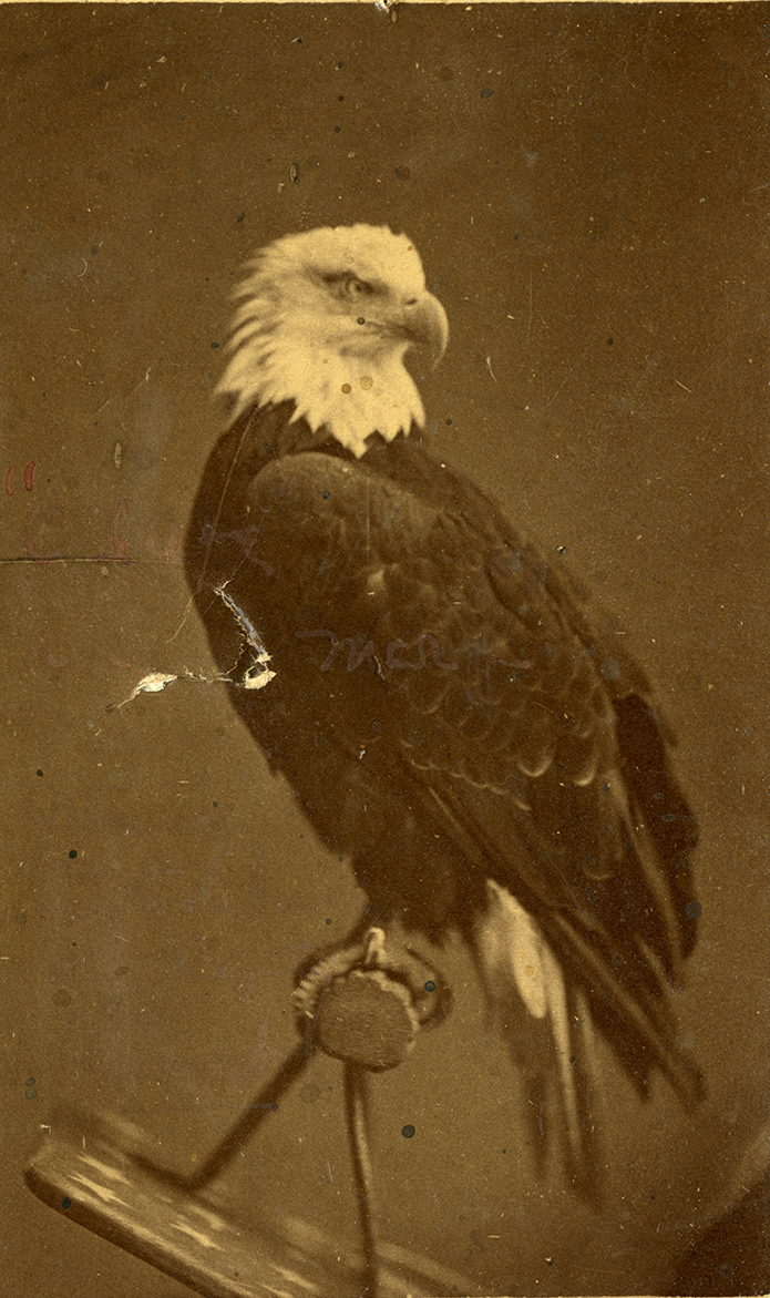 """""""Beaked"""" carte-de-visite portrait of Old Abe the War Eagle. In the image, Old Abe is perched on a shield, looking to the right. There is a v-shaped puncture on the left side of the photograph, made by Old Abe biting the image, making it an """"autographed"""" portrait."""