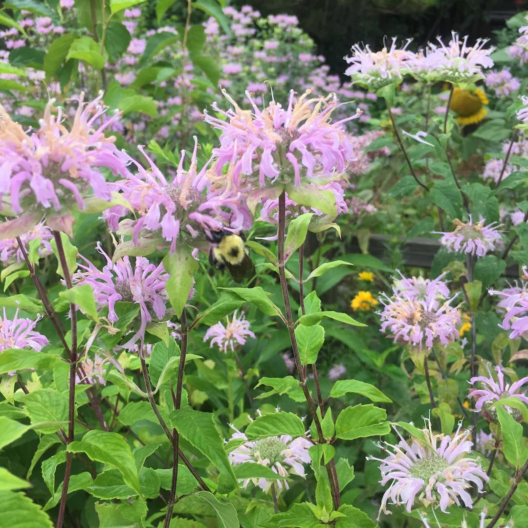 Bergamot in Birds' Landing Pollinator Garden