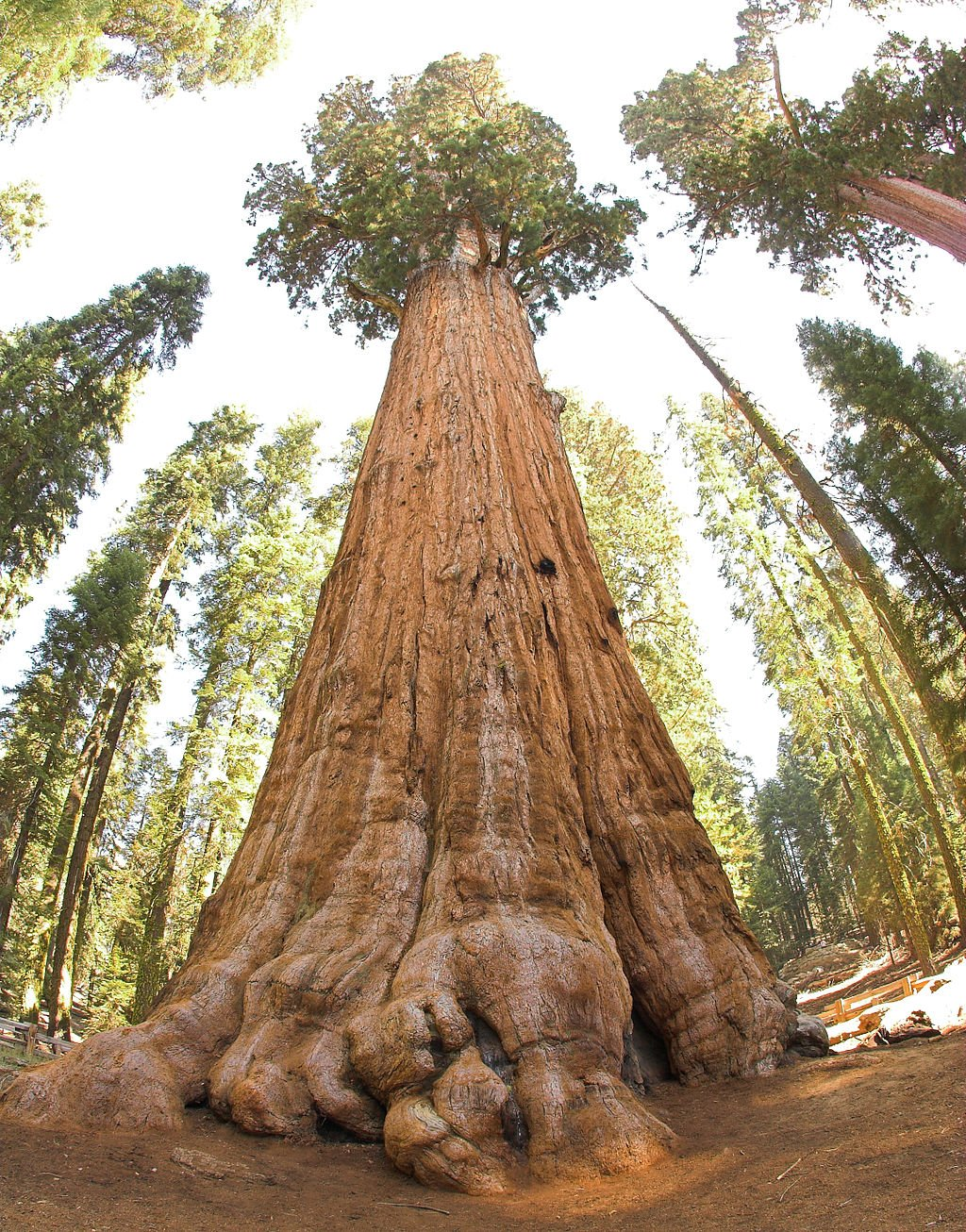 General Sherman, the largest tree in the world