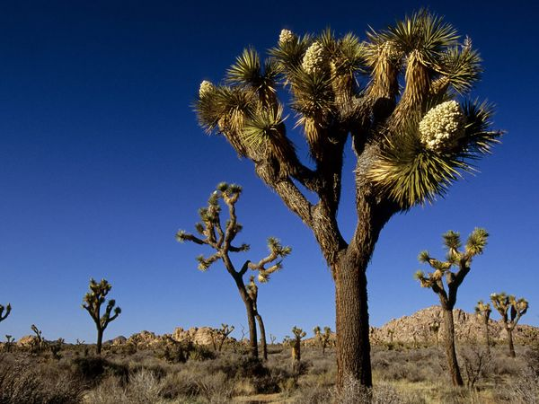 The Joshua Tree gives the park its name. They can grow up to 15 feet high and live for hundreds of years.
