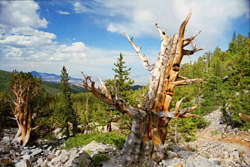 The park is known for its ancient bristlecone pine tree.