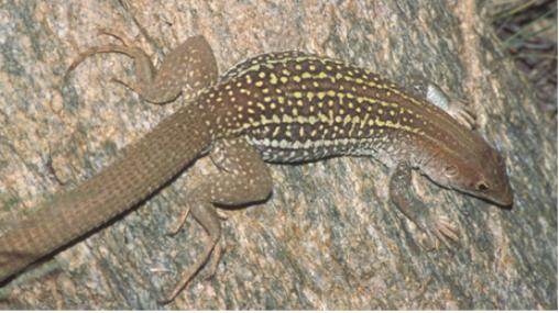 The park is also known for rare species of desert animals, such as the canyon spotted lizard
