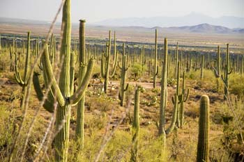 Saguaro National Park is most famous for its giant cacti-one of the enduring symbols of the American Southwest.