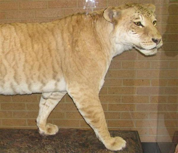 One of the only known liger displays is at the heart of the museum.