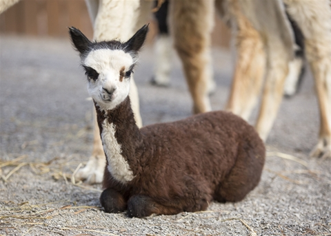 Bandit, the first alpaca born in the Nashville Zoo, shortly after its birth on December 13, 2014.
