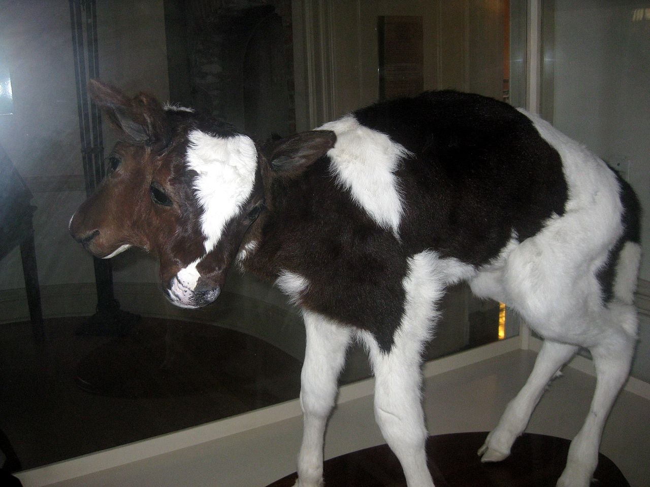 The famous bicephalic calf, which has resided in the Old State House's Museum of Natural and Other Curiosities since 1996, 200 years after the State House (and the original MONAOC) opened.