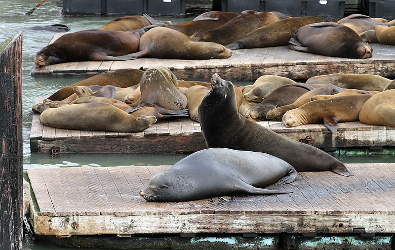Sea lions sunbathing on the platforms that are provided for them.