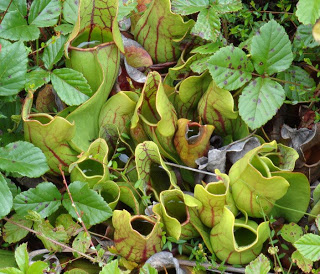 Pitcher Plants at the glades.