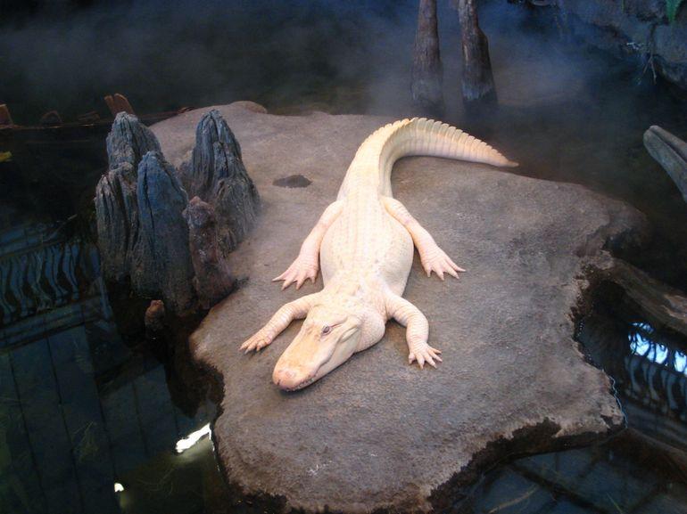 A rare albino alligator named Claude