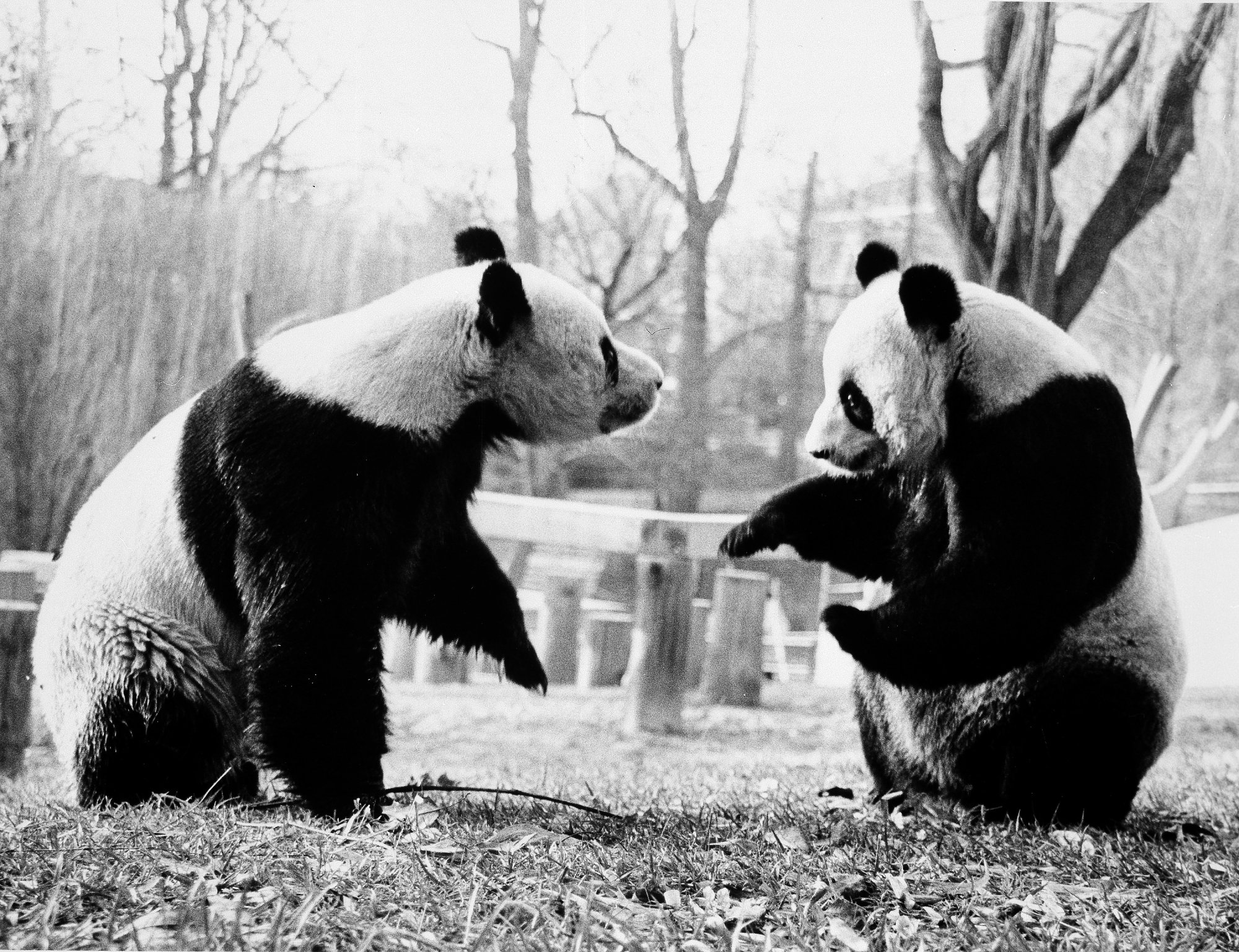 Giant pandas at the zoo have delighted visitors and contributed to conservation efforts since 1972. Here, the first pandas, Ling-Ling and Hsing-Hsing, play together. Photo circa 1985 courtesy of the Smithsonian Institution Archives.