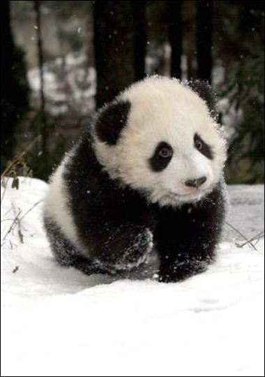 The Giant Panda is one endangered species the National Zoo is striving to protect. Its successful breeding programs have benefited the species as well as the zoo, drawing millions of visitors from around the world.