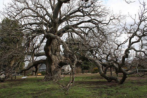 The giant cucumber magnolia tree planted in 1718