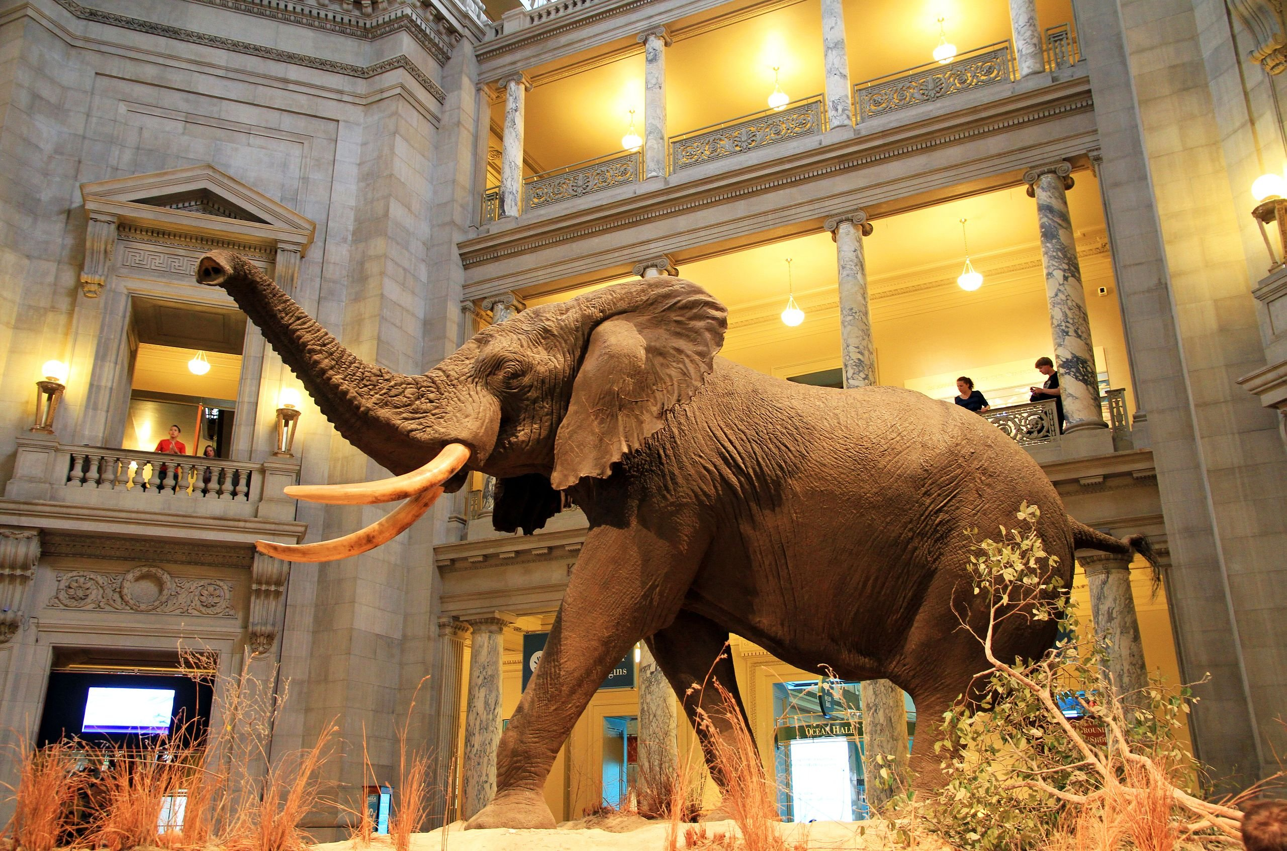 The grand rotunda houses an African elephant that debuted in 1959. At the time, it was the largest land mammal on exhibit at a museum. Photo courtesy Ingfbruno, Wikimedia.