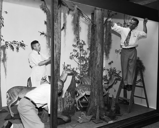 Exhibit staff prepare a display of white-tailed deer. Photo circa 1950s, courtesy of Smithsonian Institution Archives.