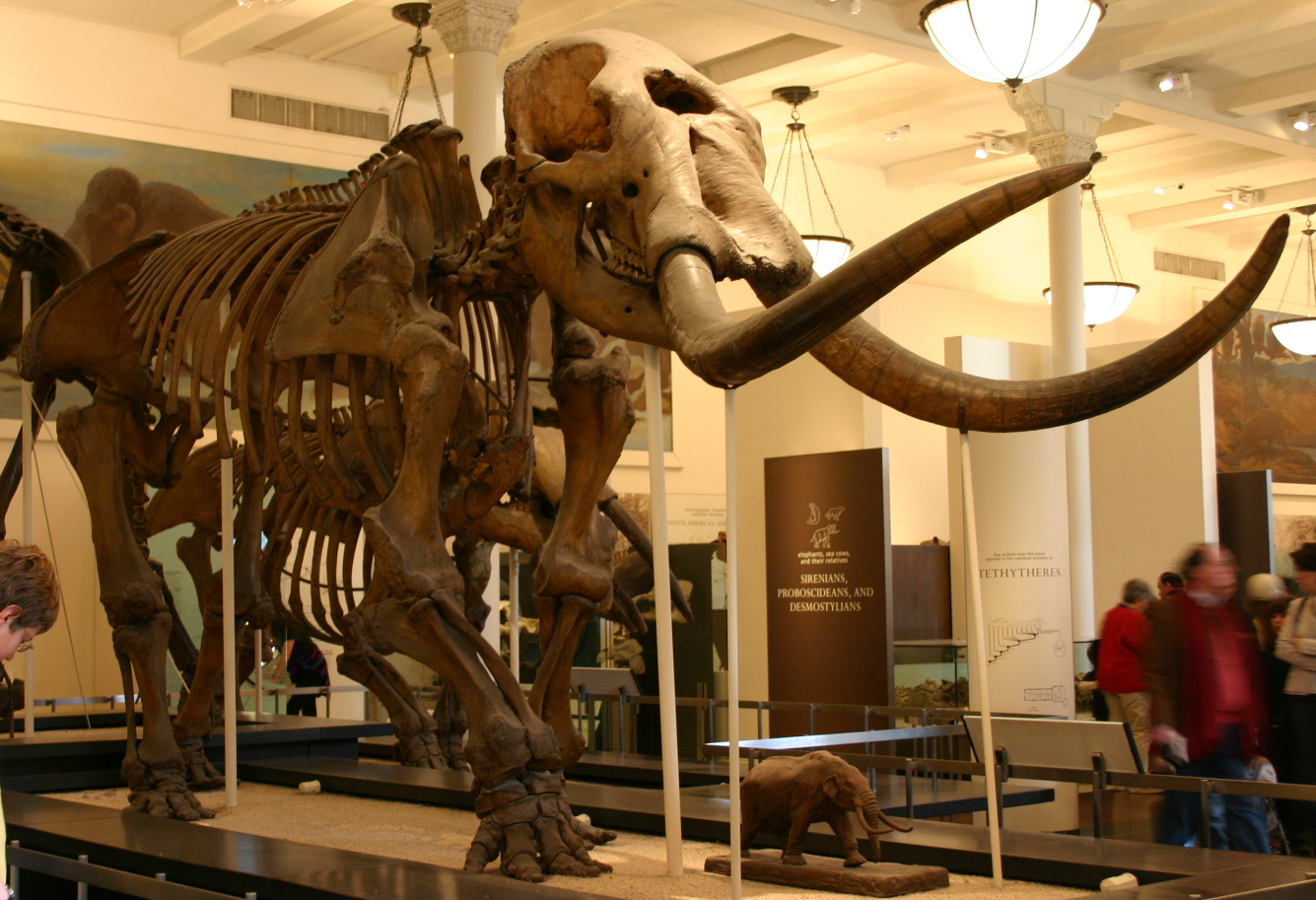 This mammoth is one of many displays at the Warren Anatomical Museum