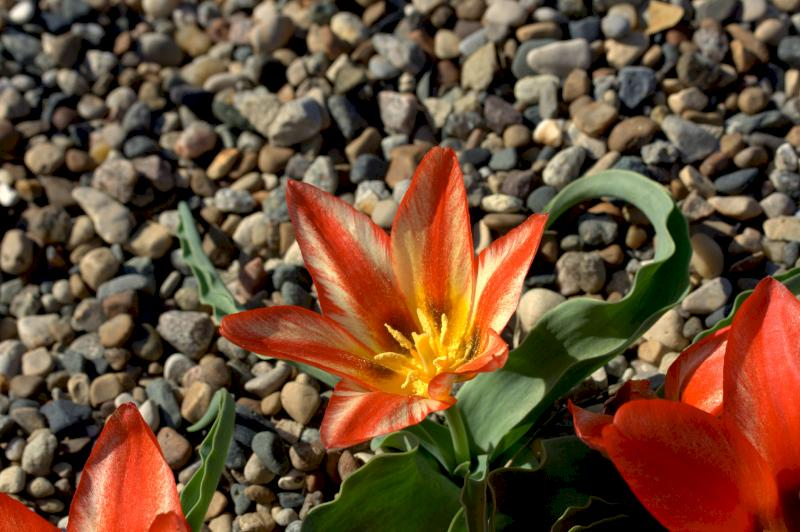 A type of tulip that can be found in season at the center