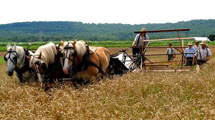 Harvesting wheat via horse plow