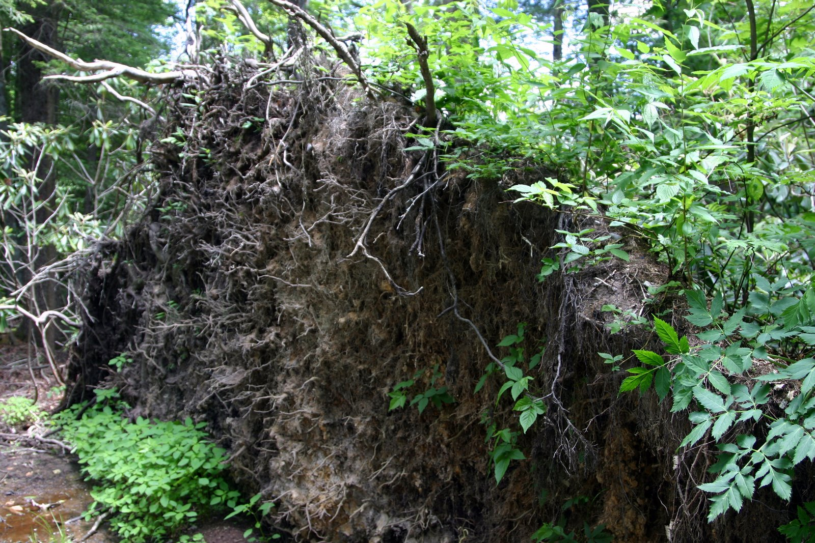 Root ball over overturned tree