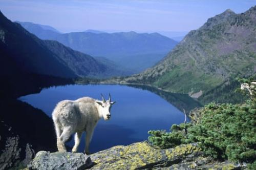 A mountain goat overlooks one of the many lakes within the park.