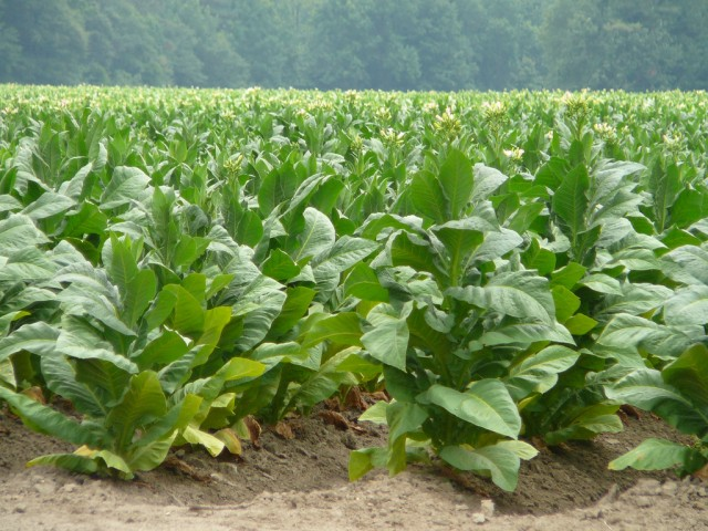 An example of a tobacco field.