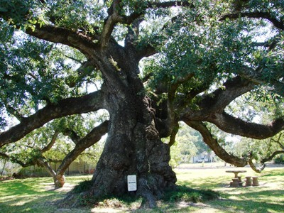 The Sallier Oak tree