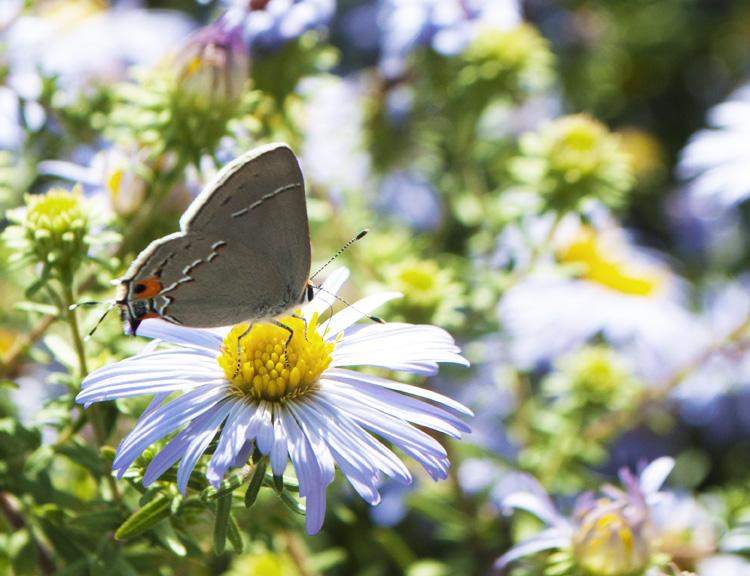 Butterfly in the Powell Memorial Butterfly Garden & Monarch Waystation