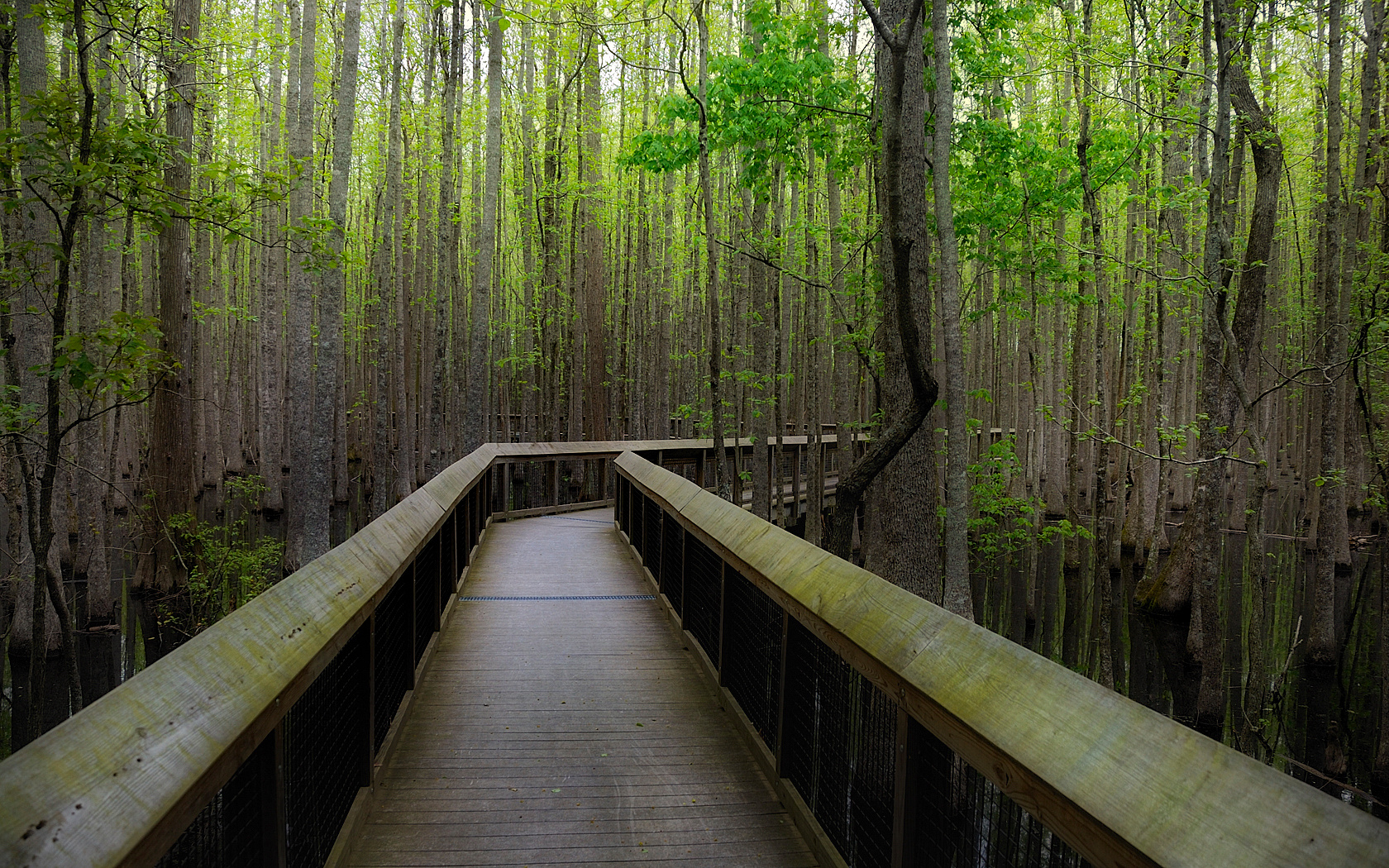 The boardwalk throughout the swamp in the Louisiana Purchase Historic State Park