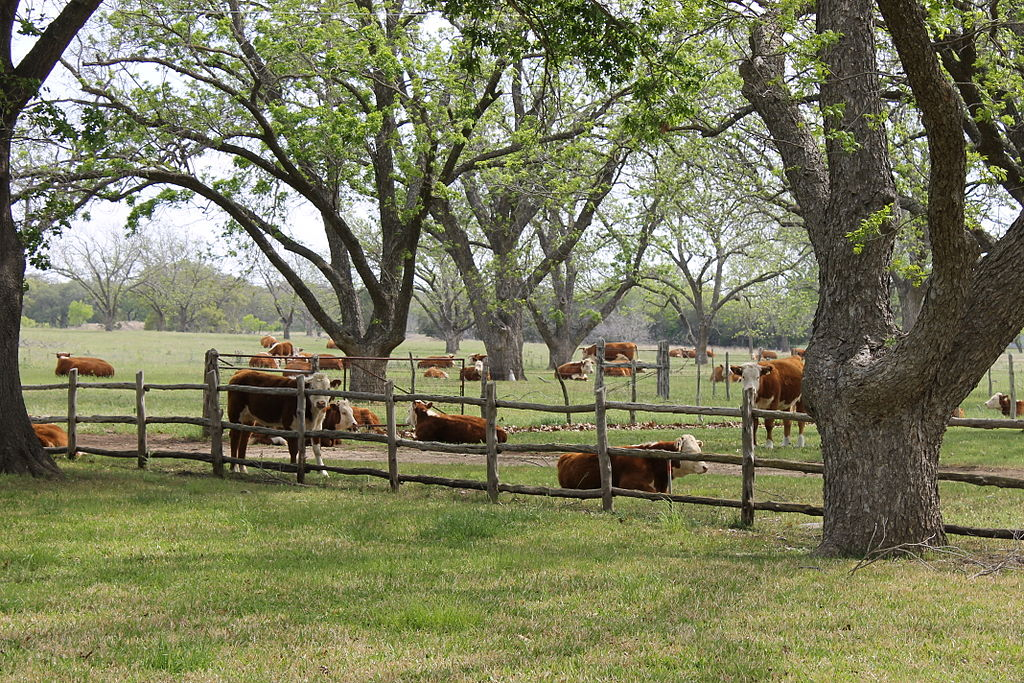 """Cattle at LBJ National Historical Park IMG 1487"" by Billy Hathorn - Own work. Licensed under Public Domain via Wikimedia Commons - https://commons.wikimedia.org/wiki/File:Cattle_at_LBJ_National_Historical_Park_IMG_1487.JPG#/media/File:Cattle_at_LBJ_"
