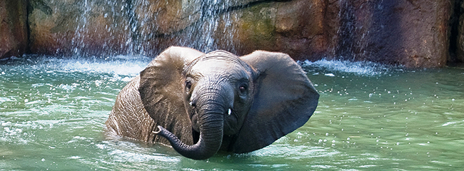 Elephant Kedar in pool, photo taken by Jackie Curts