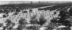 partial view of the Sahuaro Ranch Orchards in 1898