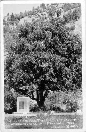 The Mother Orange Tree in 1856