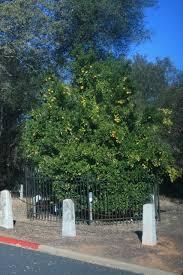 The Mother Orange Tree today