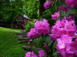 Two variations of rhododendron thrive throughout the park and their blooming season last from mid-May through July. The rhododendron catawbiense blooms early, followed by the rhododendron maximum, which is pink and also the state flower.
