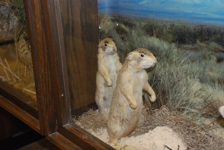 Gopher on display at the WVU Natural History Museum.