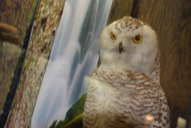 Snowy owl on display at the WVU Natural History Museum.